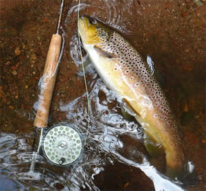 fly fishing for Wisconsin brown trout