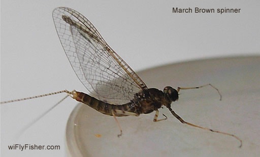 March brown mayfly hatch